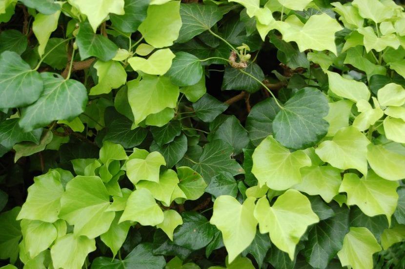 plantas perennes de exterior hiedra