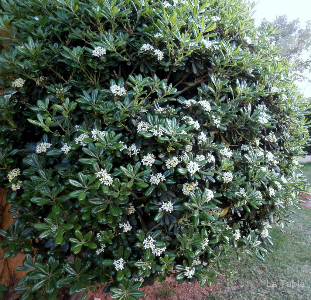 plantas perennes de exterior azahar de la china