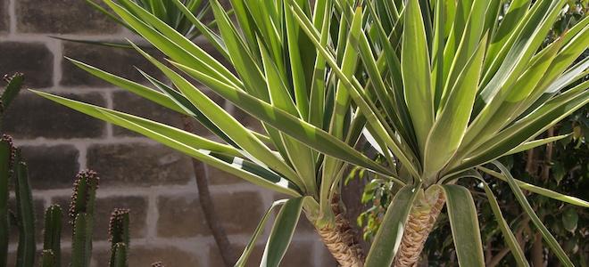 plantas de bajo mantenimiento yuca