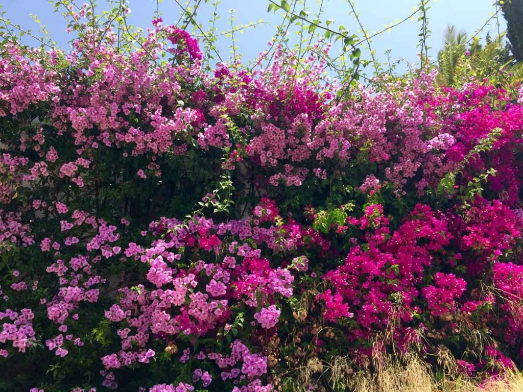 plantas de bajo mantenimiento bonitas bungavilla